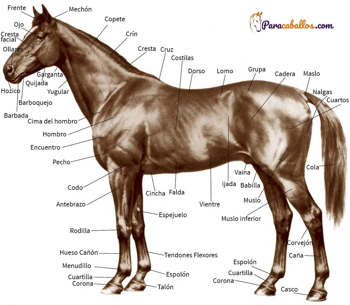 Partes y anatomía del caballo