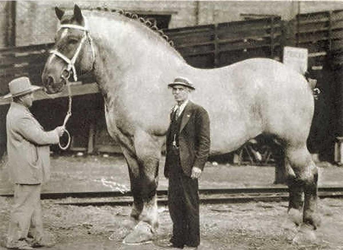 Sampson el caballo más grande de la historia